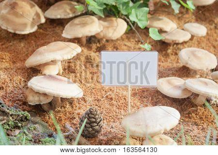 Raw fresh Shiitake mushrooms for display, stock photo