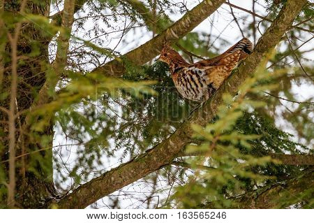 Ruffed grouse (Bonasa umbellus) perched on a branch.