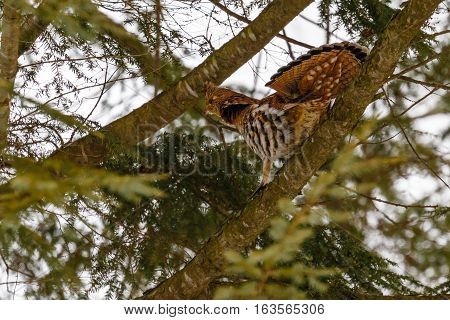 Ruffed grouse (Bonasa umbellus) on a pine branch with fanned tail.