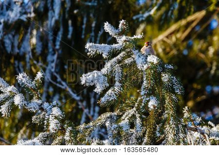 Common Redpoll (Carduelis flammea) in a pine tree with hoar frost.