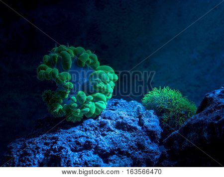 Plerogyra sinuosa, bubble coral. Star polyp, Clavularia. Reef tank, marine aquarium. Fragment of blue aquarium full of plants. A tank filled with water for keeping live underwater animals. Night view.