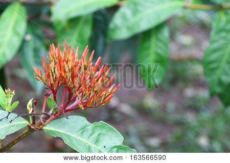 flower spike red Rubiaceae  Ixora coccinea .
