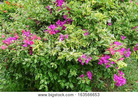 Bougainvillea flower purple beautiful in nature .