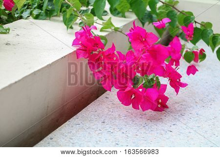 Bougainvillea flower purple beautiful in the garden