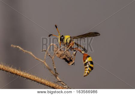 Close up macro yellow jacket wasp on a tree branch