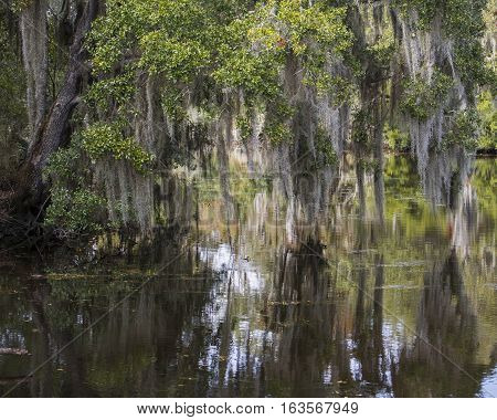 Spanish moss hanging from Cypress trees in the swamps of Louisiana and reflections in water