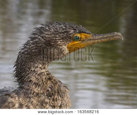 Portrait of a very wet-headed Cormorant - close up view