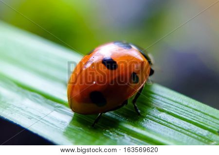 Ladybug on a leaf sits. Shooting insect macro in the summer. Wild life animals in nature.