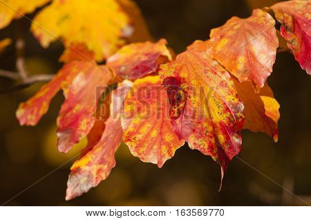 Parrotia persica tree detail with leaves in Autumn