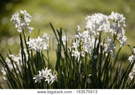 Narcissus tazetta paperwhite bunch-flowered Daffodil Chinese sacred lily cream joss flower polyanthus perennial ornamental plant.