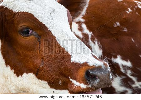 Sight of a calf. Rural pet in the paddock. Farm ranch for breeding cows. The animal husbandry in the village.