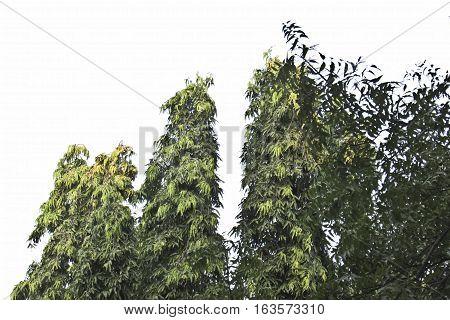 asopalav tree  isolated on white  Polyalthia longifolia