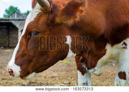 The cow on the farm. Rural pet in the paddock. Farm ranch for breeding cows. The animal husbandry in the village.