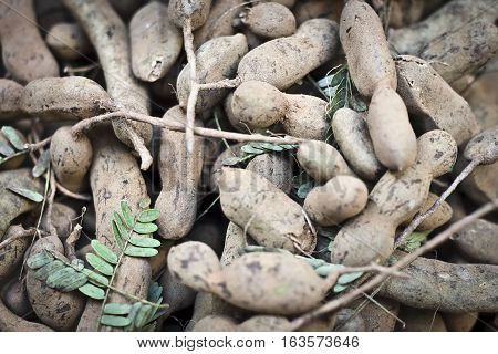 Tamarind (Tamarindus indica) is a leguminous tree in the family Fabaceae indigenous to tropical Africa.