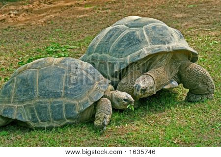 Photo of 2 giant tortoises grazing in the grass. poster