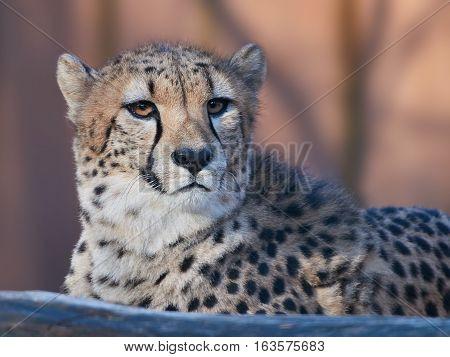 Closeup portrait of the Cheetah (Acinonyx jubatus)