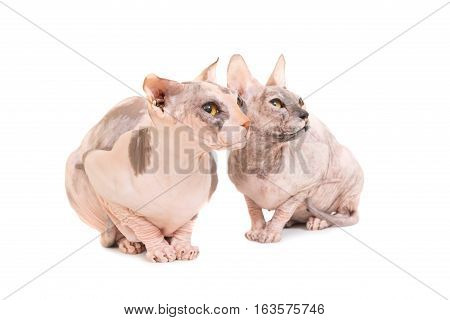 Two Sitting Purebred Sphinx Cats