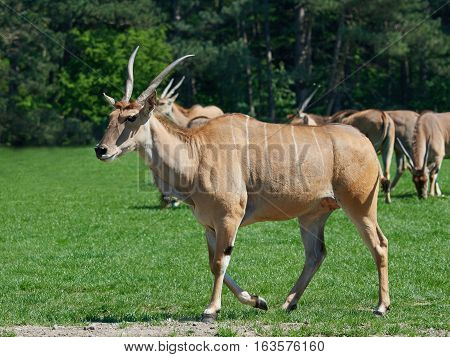 Common eland (Taurotragus oryx) in its habitat with vegetation in the background