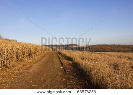 Golden Maize With Track And Woodland