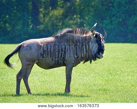Blue wildebeest standing in grass in its habitat