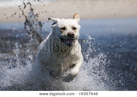 Labrador retriever in action