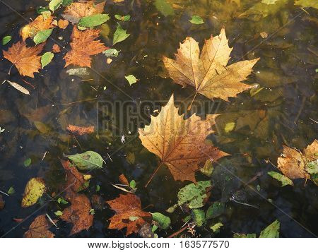 Golden leaves floating on the calm water of the pond.
