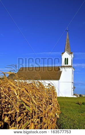 A beautiful white country church with a tall steeple is located behind a ripe corn field in the autumn