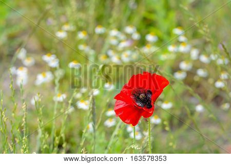 Closeup of a striking red poppy with black stamens in its own natural environment with other flowering wild plants. It's a sunny day in the summer season.