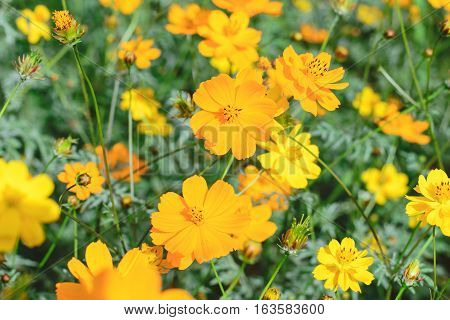 yellow cosmos flower in nature garden - Cosmos sulphureus