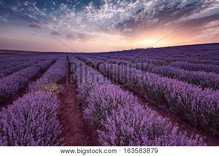 Lavender fields. Beautiful image of lavender field. Summer sunrise landscape, contrasting colors. Beautiful clouds, dramatic sky.
