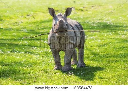 Funny White rhinoceros (Ceratotherium simum) calf with a twig in its mouth standing in the meadow playing fetch.
