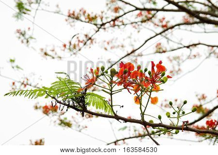Red flamboyant flowers with clear bright background