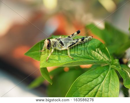 Grasshopper sitting fixedly on the branch of a green plant leafs. Macro with blur background