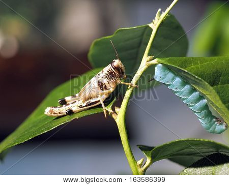 Grasshopper and caterpillar are sitting fixedly on the branch of a green plant leafs. Macro with blur background