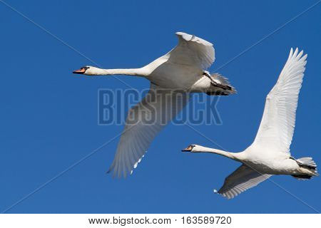 two white swans flying against the blue sky