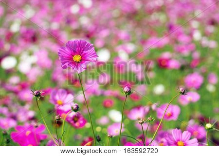 pink cosmos flower in the cosmos field. focus on blossom cosmos. shallow depth of field