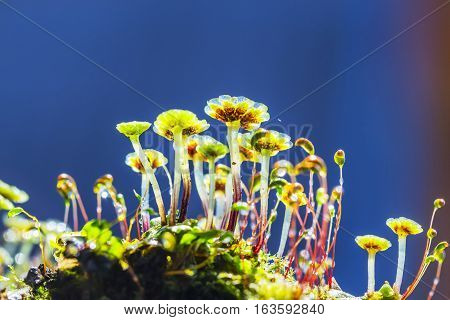 A perennial plant of Marchantia (lat. Marchantia) is a genus of perennial plants sloyevishchny family Marchantiaceae Hepatic mosses (Marchantiophyta)