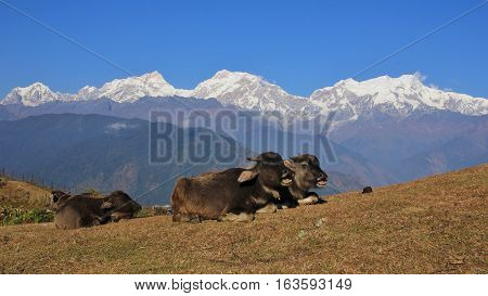 Scene in Ghale Gaun Annapurna Conservation Area Nepal. Baby buffalo and snow capped Manaslu and other high mountains.