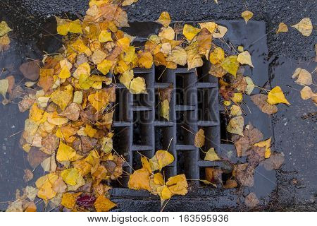 Golden colored leaves clogging a storm drain
