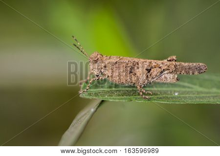 Image of Grasshoppers . closeup macro Grasshopper natural background