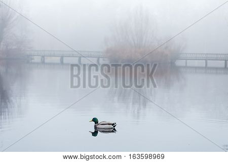 Male mallard swimming in pond in misty foggy weather. A pedestrians bridge is reflected on the still water surface.