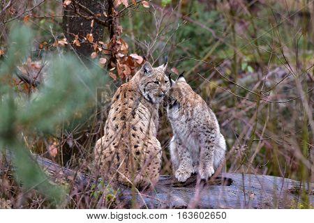 Eurasian lynx -Lynx lynx,wild reserve in Germany