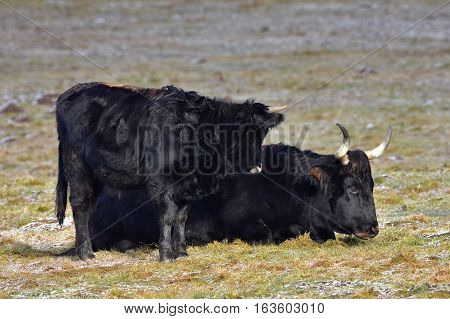 aurochs animal Bos primigenius in nature reserve Falkenstein in Germany