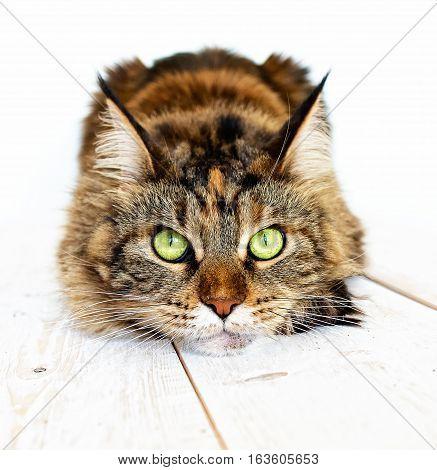 Cat hunts. Cat muzzle close-up on a light background