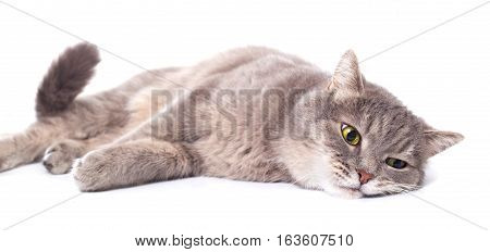 The gray cat lies on one side a white background. It is isolated on white the small depth of sharpness selective focus