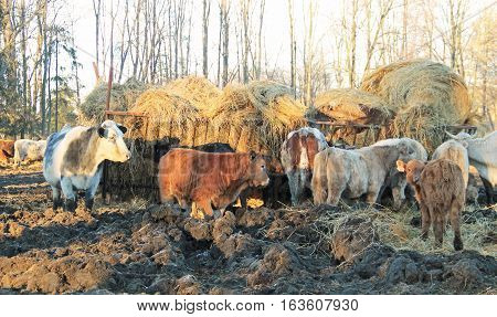 group of cows and calves living outdoors eating hey from the heyloft