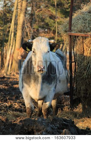 big white and gray cow living outdoors standing in the mud