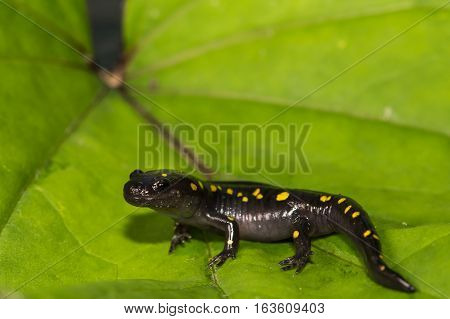 A close up of a young Spotted Salamander isolated on a green leaf.