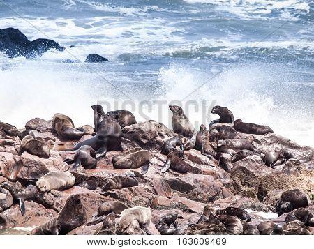 Brown fur seal, Arctocephalus pusillus, colony at Cape Cross, on Skeleton Coast of Atlantic Ocean, near Henties Bay in Namibia, Africa.
