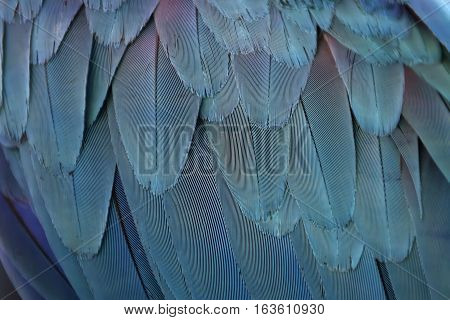 Colorful feathers. Parrot feathers background blue texture